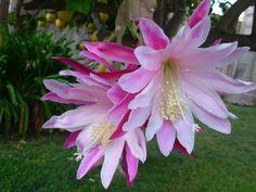 """""""Orchid Cactus"""""""
