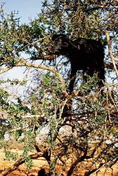 tree goats pt2 -    I couldn't believe this actually happens but goats in Morocco climb thorn-covered Argan trees and eat the leaves. An impressive feat. Especially c...