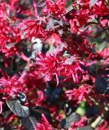 Ever Red® Fringe Flower An exceptional foundation plant. Use to create high contrast effects in beds and borders. Evergreen