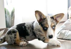 Welsh Corgi Cardigan 9 weeks old Cardigan Welsh Corgi Puppies, Corgi Mix, Pembroke Welsh Corgi, Cute Puppies, Dogs And Puppies, Corgi Tattoo, Cute Dogs Images, Balcony Ideas, Blue Merle