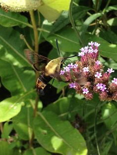 Snowberry Clearwing moth (Hemaris diffinis) in the Smithsonian Butterfly Habitat Garden | by Flickr member AsiVivo
