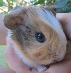 Guinea pig. I want one that looks like this!!