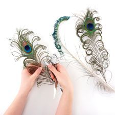 Curling Peacock Feathers: Working with Feathers : Tips and Techniques from The Feather Place. #thefeatherplace #workingwithfeathers #feathers Visit our DIY Arts & Crafts Gallery or Shop Feathers: www.featherplace.com/idea-gallery