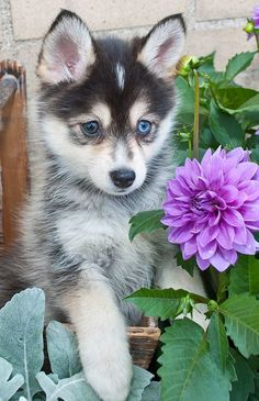 Want a Pomsky puppy (Pomeranian Husky Mix)? Here we've listed Pomsky dog's information, pictures, characteristics, cost, and breeders list. Perro Pomsky, Pomeranian Husky, Pomsky Puppies, Husky Puppy, Cute Puppies, Dogs And Puppies, Ravensburger Puzzle, Dog Breeds, Husky