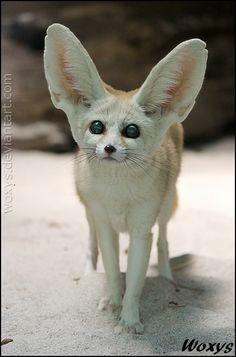 ~~Fennec fox: I am new in town by woxys~~
