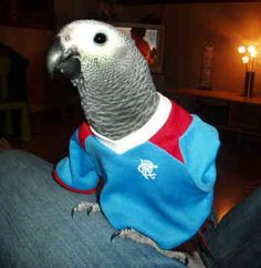 Congo African Grey Parrot dressed up for the game, love it!