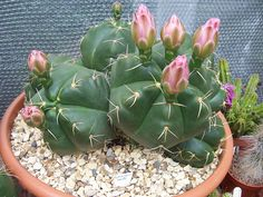 Gymnocalycium, possibly horstii