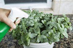 spray plants tea solution