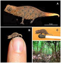 Jippo: Madagaskarilta löydetty minikokoinen kameleontti - A tiny chameleon in Madagascar.