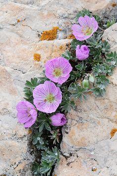 GERANIUM ARGENTEUM (Geranio argentato. Silber-Storchschnabel. Géranium argenté. Srebrna krvomočnica). Geraniaceae