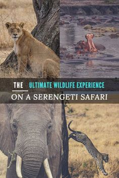 A safari into the Serengeti in Tanzania is one of the best wildlife experiences in the world. This will tell you and more importantly show you what it's like, including one day when several elusive leopards were spotted in a matter of hours and beautiful photos taken of the encounter.
