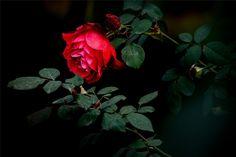 Red Devotion : Foto