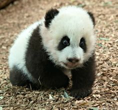 Giant Panda cubs Ya Lun and Xi Lun are nearly four months old and now scoot, wobble, and walk across their day room at Zoo Atlanta. See more pics and video at ZooBorns.com and http://www.zooborns.com/zooborns/2016/12/giant-panda-cubs-learn-to-walk-.html