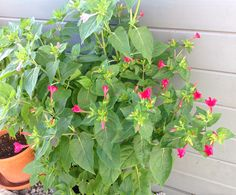 Geheimnis gelüftet: Tabakpflanzen! Oh, ich freue mich so- die Blüten sind sehr schön und das kräftige Blattgrün toll - dunkelpinkrote und rosa Blüten gemischt... Stuffed Peppers, Vegetables, Plants, Pink Blossom, Fruit, Seeds, Amazing, Nice Asses, Stuffed Pepper