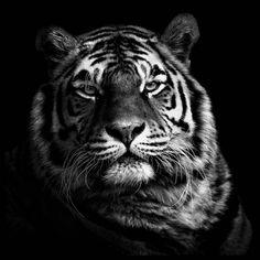 Tiger B&W Poster in de groep Posters / Afmetingen / 50x50cm bij Desenio AB (2913)