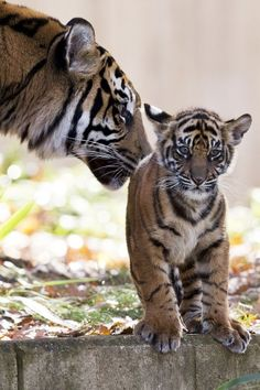 Mother Sumatran tiger Damai nuzzles one of her two cubs as the Sumatran tiger cubs make their public debut at the National Zoo in Washington...