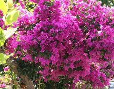 ΒΟΥΚΑΙΝΒΙΛΛΙΑ Garden Plants, Colorful