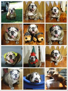 2013 year。facebook‧ Timeline Photos。 English Bulldog Josephine. Feb.02.2014。