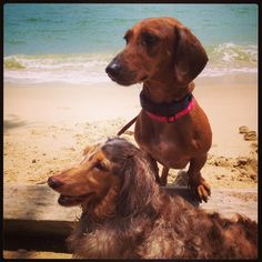 Pet Sitting for Two Adorable Dachshunds in Shanghai, China | TrustedHousesitters.com