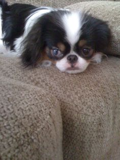 Our Japanese Chin puppy Tomio