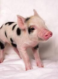 Chrystal's Mini Pigs