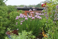 66 Square Feet: Chives