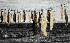 Outport Newfoundland Cod Drying by Judie Ann