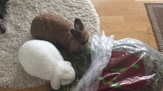 """8/7/17 Hi there folks! Mom made a video today, us eating hay :) She always tries finding new ways Lop Ear and me getting as much hay as possible! Watch and learn :) It sure works!! Thihihihihi!! Dexter on D&D """"The Bunny Brothers always having a good time allowed eating hay like this :) It´s a good way stimulating bunnies eating more hay!"""" Inger Johanne on D&D :)"""