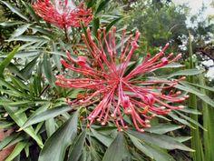 Angus's Top Ten Small Australian Trees Australian Plants, Garden Trees, Small Trees, Outdoor Gardens, Nativity, Woodland, Planter Pots, Succulents, Herbs