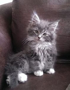 Cool Fluffy Cute Cats And Kittens If you are looking for Fluffy cute cats and kittens you've come to the right place. We have collect images about Fluffy cute cats and kittens includin. I Love Black Kittens Kittens Cutest Cute Cats Cats And Cute Cats And Kittens, Cool Cats, Kittens Cutest, Fluffy Kittens, Ragdoll Kittens, Tabby Cats, Fluffy Cat, Siamese Cats, Kittens Meowing