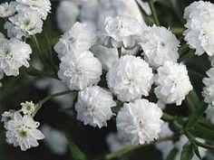 Achillea ptarmica 'Schneeball' - Gefüllte Bertramsgarbe und andere historische Pflanzen