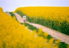 Skåne is an open landscape with large areas of cultivated land. In early summer, fields are awash with yellow from golden rapeseed, which in Sweden is very much associated with Skåne.