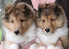 sheltie+&+lab+together | Sable Shetland Sheepdog ( Sheltie ) Puppies