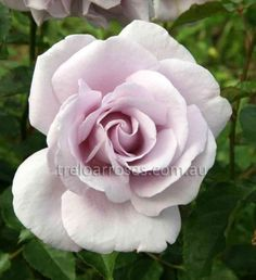 Lagerfeld :- Medium sized light fragrant blooms produced several to a stem.