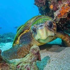 Sea Turtle Wild Creatures, Ocean Creatures, Ocean Pictures, Nature Pictures, Ocean Life, Ocean Ocean, Turtle Love, Water Life, Colorful Fish