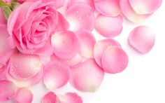 Beautiful Pink Roses Background | 핑크 장미 꽃잎 배경 화면 - 1440x900