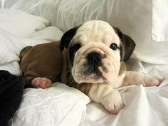 SO CUTE! 10 week old bulldog