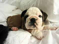 SO CUTE! 10 week old bulldog