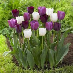 Tulip 'Purple Lady'