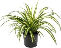 10 Houseplants That Need (Almost) Zero Sunlight - House Fur Indoor Plants Low Light, Best Indoor Plants, Begonia, West Elm Planter, Chlorophytum, Perennial Flowering Plants, Floor Plants, Inside Plants, Plant Lighting