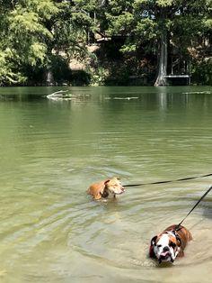 American Bulldog Puppies, Heart Melting, Bullies, Brighten Your Day, Make You Smile, Corgi, English, Cute, Animals