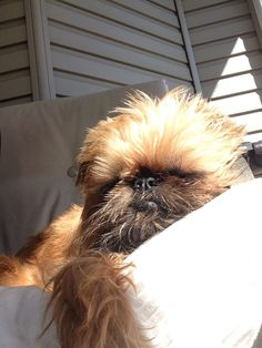 Rosie Grace sunbathing Griffin Dog, Cute Puppies, Cute Dogs, Animals And Pets, Cute Animals, Brussels Griffon, Pink Power, Pet Id, Puppy Pictures