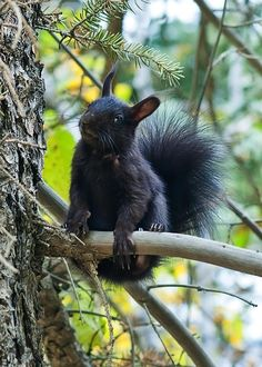 Squirrel Photograph - The Black Aberts Squirrel by Beth Riser