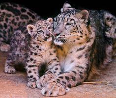 Leopards are beautiful creatures and need to be protected...the Amur Leopard, the Snow Leopard numbers are dwindling....please help save them.