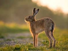 A beautiful Brown Hare in the dawn light - Norfolk Wildlife Trust