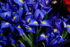 "iris varieties | Siberian irises image by ""Blue Irises on Geary Street"" is Copyrighted ..."