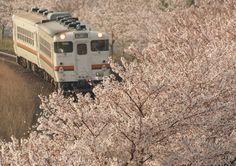 Railway-photograp 満開の桜並木を進むキハ48形