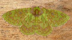 Geometer Moth, Geometridae | Flickr - Photo Sharing!