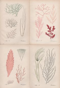 Set of 4 Seaweed Prints Red Algae illustration by Craftissimo
