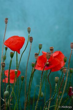 red poppies by Haikey